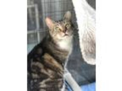 Adopt Billie Jean a Domestic Short Hair