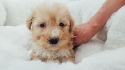 Maltipoo - Male - Champ ($1,250)