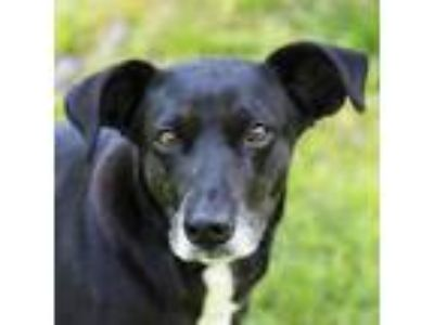 Adopt Kira a Black Labrador Retriever dog in Middletown, RI (25936473)