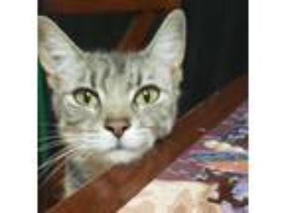 Adopt Dixie a Tabby, Domestic Short Hair