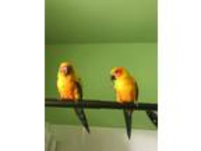 Adopt Tarzan and Jane a Yellow Conure bird in Aurora, IL (25835975)