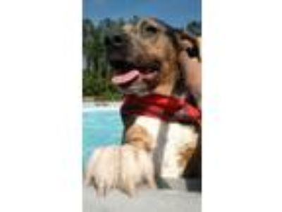 Adopt Goku a Blue Lacy, American Staffordshire Terrier