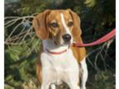 Adopt Griffin a Brown/Chocolate - with White Beagle dog in Greenbelt