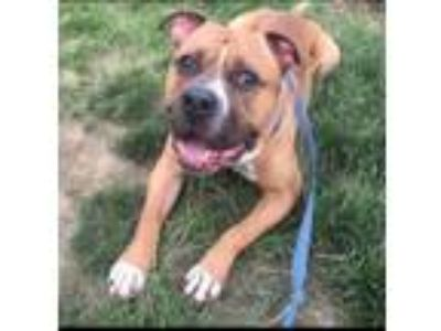 Adopt Hondo a Pit Bull Terrier, Mixed Breed