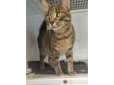 Adopt Dill a Domestic Short Hair
