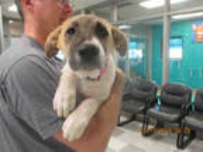 Adopt CLAIRE a White - with Tan, Yellow or Fawn Anatolian Shepherd / Mixed dog