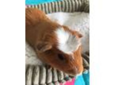 Adopt Rocky a Orange Guinea Pig small animal in Fort Collins, CO (25317175)
