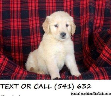 DFDIK*^&!)Friendly,Golden Retriever Puppies
