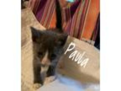 Adopt Paula a Gray or Blue (Mostly) American Shorthair (short coat) cat in