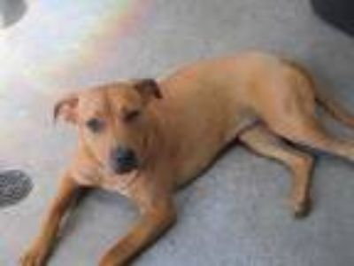 Adopt Trudy a Brown/Chocolate Terrier (Unknown Type, Small) / Labrador Retriever
