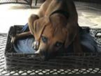 Adopt Krew a Tan/Yellow/Fawn - with Black Labrador Retriever / Hound (Unknown