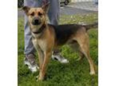 Adopt Chester a German Shepherd Dog / Mixed dog in Atlantic City, NJ (25277335)