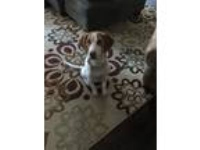 Adopt Scout (Fostered in New England) a White - with Red, Golden