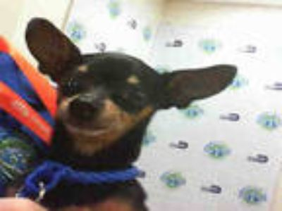 Adopt CUPID a Black - with Tan, Yellow or Fawn Miniature Pinscher / Mixed dog in