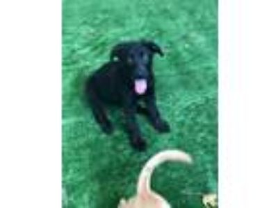 Adopt Haans a German Shepherd Dog, Labrador Retriever