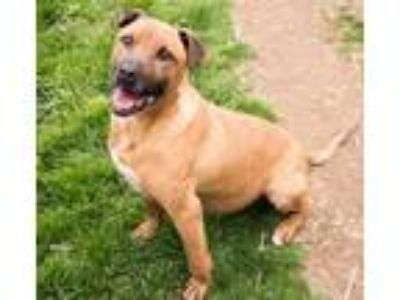 Adopt Nikki a Tan/Yellow/Fawn - with Black Shepherd (Unknown Type) / Mixed dog