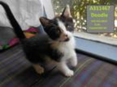 Adopt DOODLE a Black & White or Tuxedo Domestic Shorthair / Mixed (short coat)