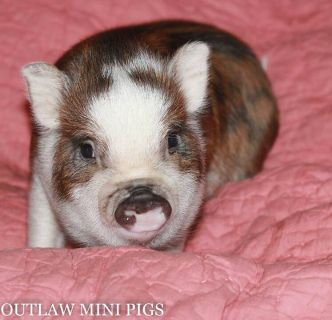 Juliana Miniature Pig Breeding Stock
