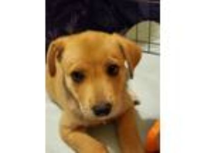 Adopt Stephen a Labrador Retriever, Shepherd