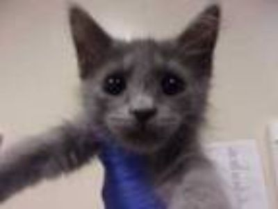 Adopt Sofie a Gray or Blue Domestic Shorthair / Domestic Shorthair / Mixed cat