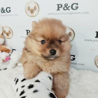 Pomeranian PUPPY FOR SALE ADN-108387 - POMERANIAN JERRY MALE