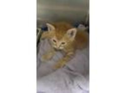 Adopt Tiger Willy a Orange or Red Domestic Shorthair / Domestic Shorthair /