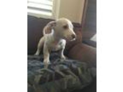 Adopt Betsy a White Dachshund / Cairn Terrier / Mixed dog in Modesto