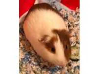 Adopt Tyson a White Guinea Pig (short coat) small animal in Orlando