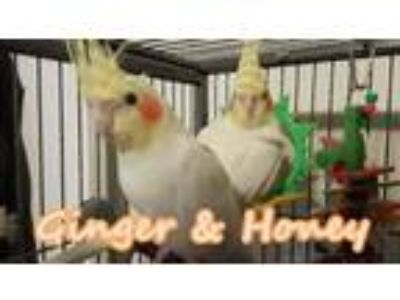 Adopt Ginger and Honey a Cockatiel