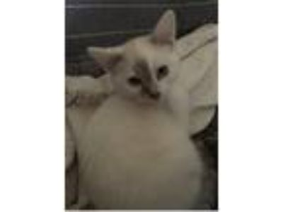 Adopt Kitten 3 a White (Mostly) Snowshoe (short coat) cat in Indianapolis