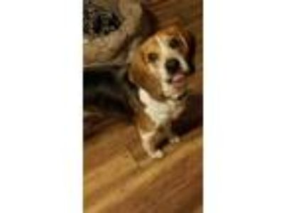 Adopt Hank (Beagle) a Mixed Breed