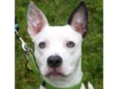 Adopt Gino a White American Pit Bull Terrier / Mixed dog in Ann Arbor