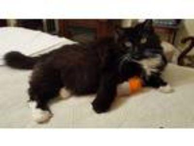 Adopt Lulu a Black & White or Tuxedo Domestic Longhair (long coat) cat in Lodi
