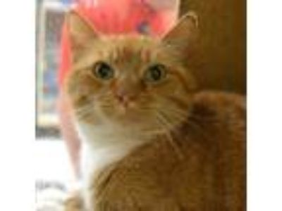 Adopt Chloe a Domestic Shorthair / Mixed cat in Des Moines, IA (25343728)