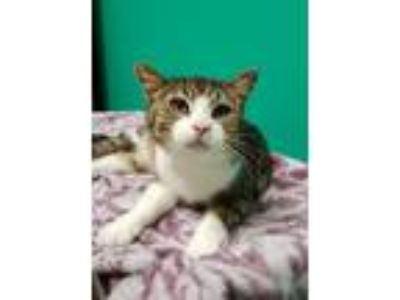 Adopt Hedgie a Domestic Short Hair