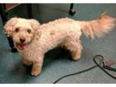 Adopt Biggie Smalls a Miniature Poodle / Mixed dog in Oceanside, CA (25879963)