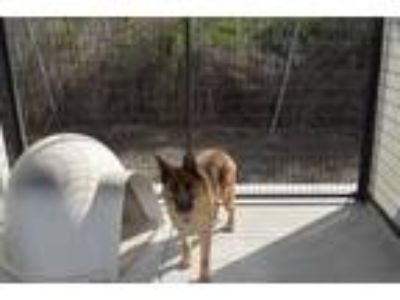 Adopt Rachel a German Shepherd Dog