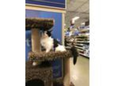Adopt Bacardi a Domestic Long Hair