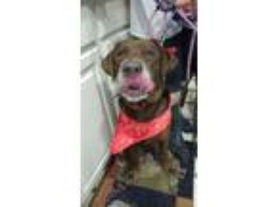 Adopt Harry a Brown/Chocolate - with White Labrador Retriever / Mixed dog in