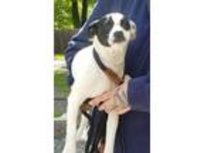 Adopt Rosie a Beagle, Boston Terrier