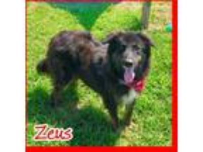 Adopt Zeus a Black Australian Shepherd / Mixed dog in Jasper, IN (25926772)