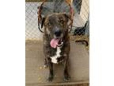 Adopt Buddy a Brindle American Pit Bull Terrier / Mixed dog in Palm Springs