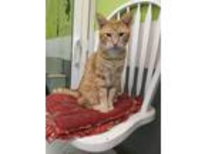 Adopt Jordy a Domestic Short Hair