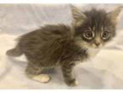 Adopt Ice Pop a Gray or Blue Domestic Longhair / Mixed (long coat) cat in Fort
