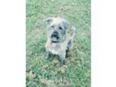 Adopt Gina JuM a Tan/Yellow/Fawn Schnauzer (Miniature) / Mixed dog in Von Ormy