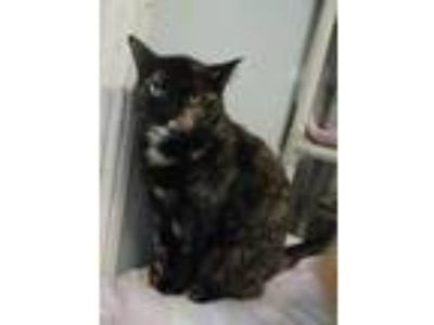 Adopt Mini May a All Black Domestic Shorthair / Domestic Shorthair / Mixed cat