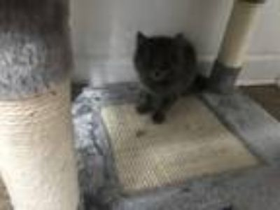Adopt Wolfie a Gray or Blue Domestic Mediumhair / Mixed (medium coat) cat in