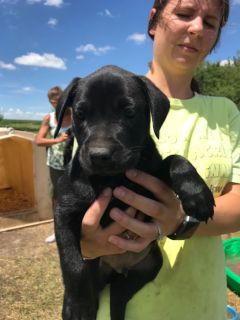 Pure bred black lab puppies for sale