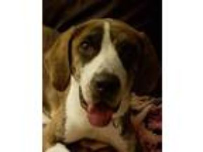 Adopt Sweetie a Tricolor (Tan/Brown & Black & White) Coonhound / Hound (Unknown