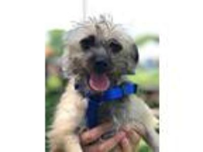 Adopt Mason a Tan/Yellow/Fawn - with Black Cairn Terrier / Mixed dog in Sugar